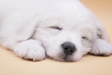 A Maltese puppy sleeping with orange background
