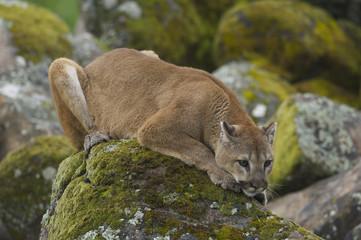 Foto op Plexiglas Puma Mountain Lion