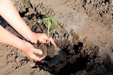 Planting tomato seedlings in hole with water. Close up.