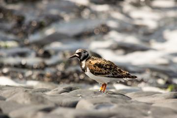 voltapietre uccello migratore