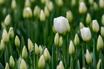 tulip blossom on green background