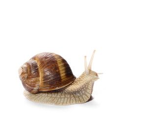 Snail isolated on white background, Helix pomatia