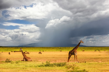 Wall Mural - African giraffes on the background of a stormy sky. Africa. Tanzania.