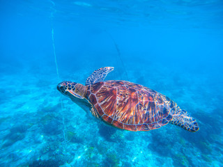 Sea turtle in blue water closeup. Olive green turtle underwater photo.