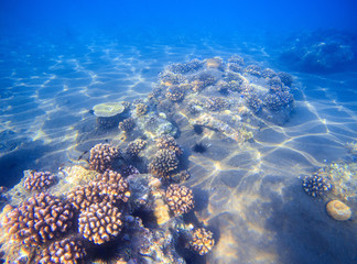 Tropical seashore with young corals. Underwater photo of marine nature.