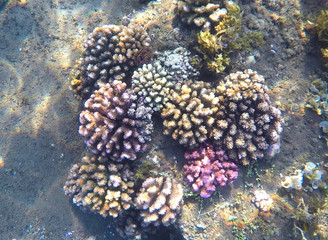 Pink and yellow coral reef and sand sea bottom. Exotic fauna of tropical sea.
