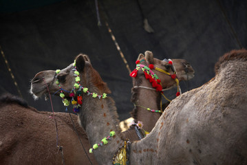 Camels are adorned with decorations before their slaughter during Eid al-Adha celebrations in Karachi