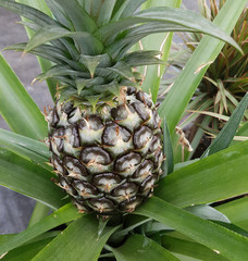 High angle view of single pineapple growing plant