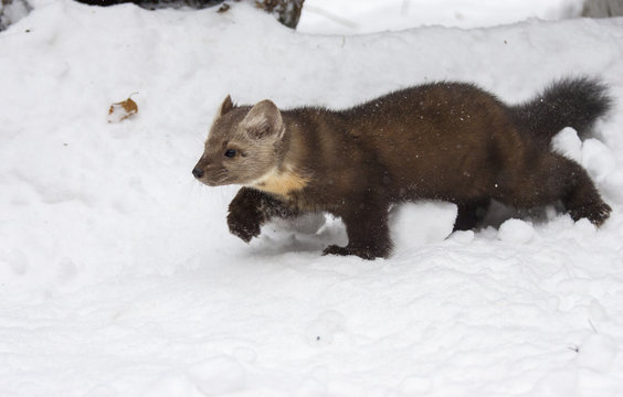 Pine marten walking in deep white snow, profile view, in winter time