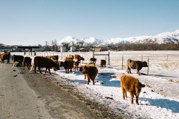alaskan cows in winter