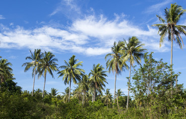 Wild palm tree on tropical island. Bright blue sky background.