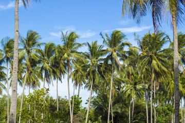 Coconut palm tree on tropical island. Bright blue sky background.