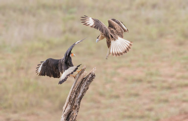 Fight For The Top Spot - Two Crested Caracara's, also known as Mexican Eagles, fight for the top spot on a perch.