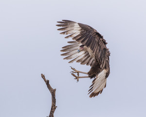 Caracara Talons on Target - A Crested Caracara also known as the Mexican Eagle, with wings in a braking position and talons extended prepares to land on a branch.