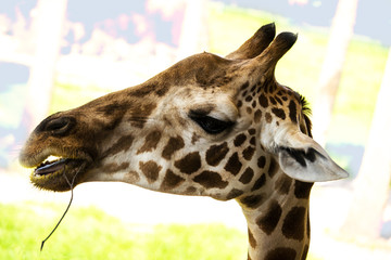Giraffe Face Profile