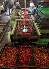 Employees sort cranberries at a state farm in the village of Selishche