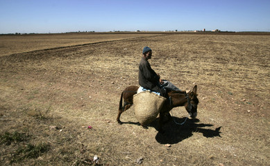 A man rides on donkey in a field in the Marrakesh region of Morocco