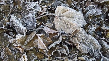 Frost & Leaves
