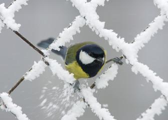 A Blue Tit sits on a wire fence in a garden in Goroshki