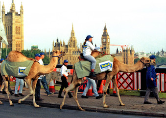 File photo shows camel being ridden accross Lambeth Bridge in London