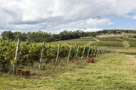 Scenic vineyard located near Punta Del Este, Uruguay