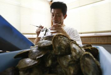 Yutaka Iwaki, a pearl oyster farmer, implants nucleus into a Japanese akoya shell to prepare for pearl cultivation in Shima