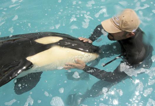 File picture shows Fernando Miranda stroking month old orphan killer whale Pascuala at the Vallarta Adventure park in Nuevo Vallarta in Mexico