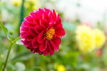 Chrysanthemums garden