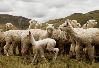 Alpacas and baby stand at a breeding farm in Peru's remote southern Ande.