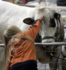 Brooke Biddle pets a 15 month old Piedmontese bull in a barn at the 2006 World Beef Expo in West Allis