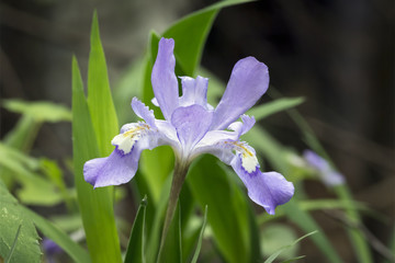 Dwarf Crested Iris Wildflower in the Woods