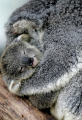 A baby koala named 'Cooee' is held by it's mother at Sydney's Taronga Zoo.