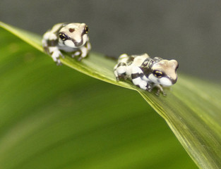 Two Mission golden-eyed tree frogs sit on a leaf in their tank at Chester Zoo in Chester