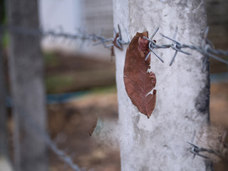 Leaf Trapped in Steel Barbed Wire