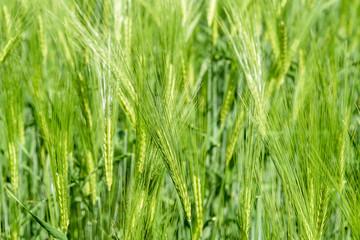 Green wheat field. Bright sunlight over wheat field. Landscape