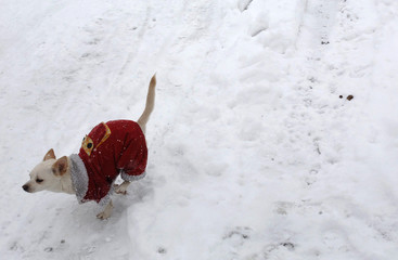 A pet dog wearing a costume runs on the snow in Hefei
