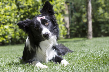 Happy border collie puppy in the garden, with papillon in the head