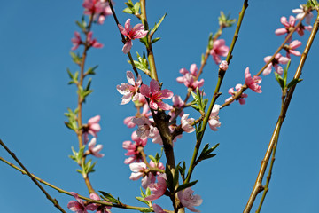 Beautiful pink peach blossom in springtime over blue sky