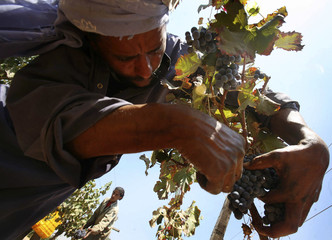 A man picks bunches of ripe grapes from a tree at a vineyard in El-khatatba
