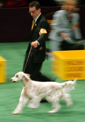English Setter runs through paces during judging in Westminster Kennnel Club show.