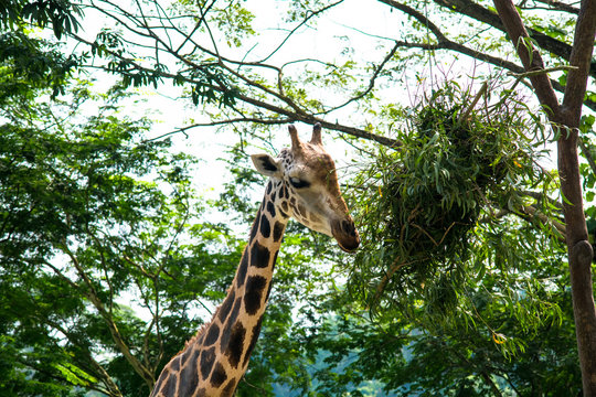 Close Up View Of Giraffe Against Trees