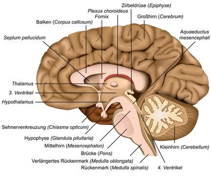 Querschnitt durch das menschliche Gehirn, vektor illustration mit Beschreibung