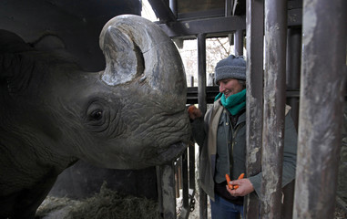 Rhino keeper gives a carrot to a Northern White Rhino at the zoo in Dvur Kralove nad Labem