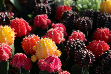 Collection of Colorful Flowering Cacti