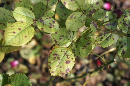 Downy mildew on the rose leaf / Peronospora sparsa