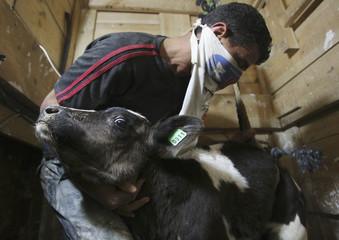 Palestinian smuggles calf through tunnel beneath Egyptian-Gaza border in Rafah