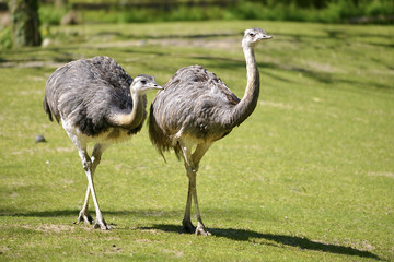 Two Greater Rheas (Rhea americana) walking on grass