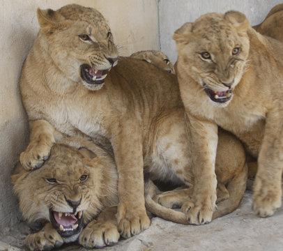 Lion cubs roar at visitors in their enclosure at Ghamadan zoo