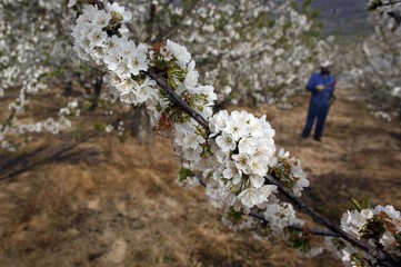 Cherry branch in blossom is seen as a man fertilizes cherry trees in the Valle del Jerte