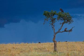 Acacia Tree with Vulture atop, Masai Mara, Kenya